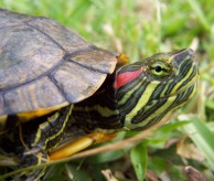 Turtle,Red-eared_Slider