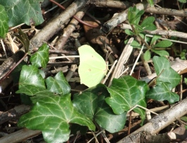 Brimstone - always rests with its wings closed